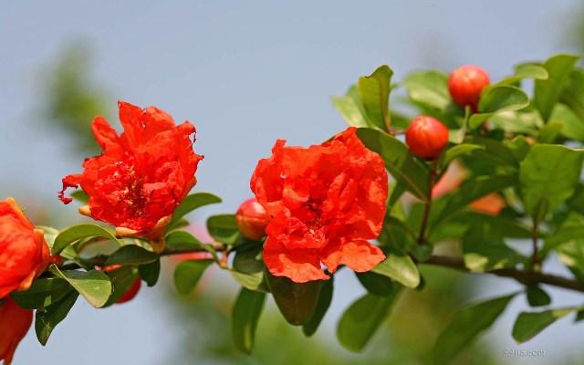 ทับทิม, ฮวงจุ้ยกับรูปภาพ, ฮวงจุ้ยกับดอกไม้